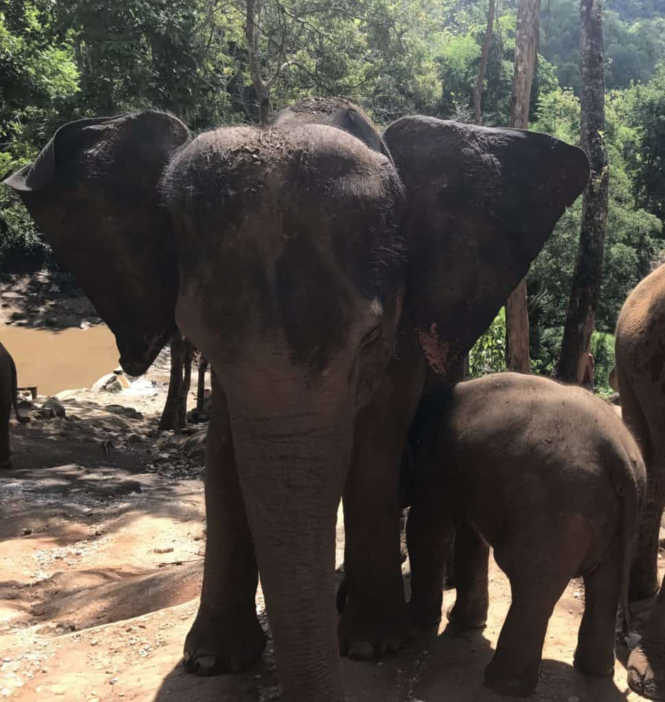 Mother Elephant And Baby Elephant In Chiang Mai Rescue Centre