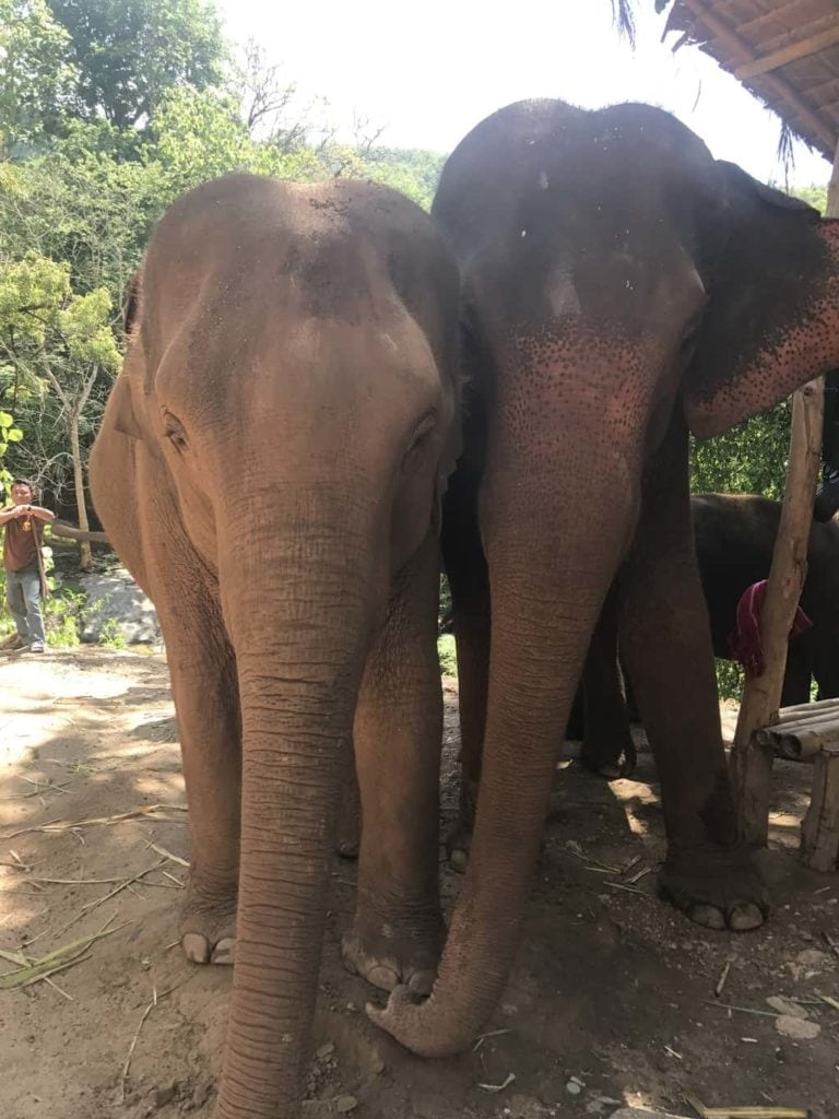 Two Rescue Elephants In Chiang Mai